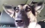 dog ear dance